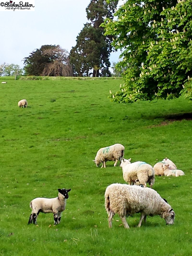 Sheep and Lambs in Spring - An Evening Walk in Spring at www.elistonbutton.com - Eliston Button - That Crafty Kid – Art, Design, Craft & Adventure.
