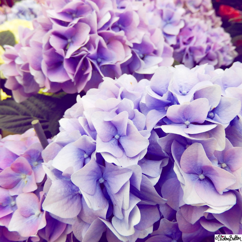 Parma Violet Purple Hydrangea - Around Here...May 2015 at www.elistonbutton.com - Eliston Button - That Crafty Kid – Art, Design, Craft & Adventure.