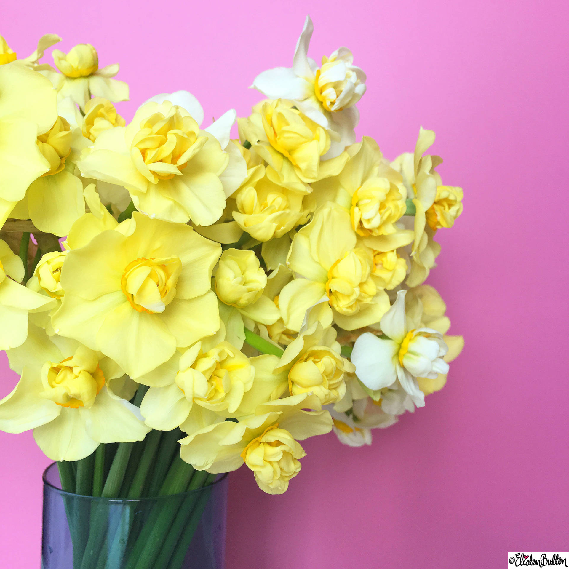 Day 21 - Cut - Yellow Daffodils with Pink Background - Photo-a-Day – April 2016 at www.elistonbutton.com - Eliston Button - That Crafty Kid – Art, Design, Craft & Adventure.