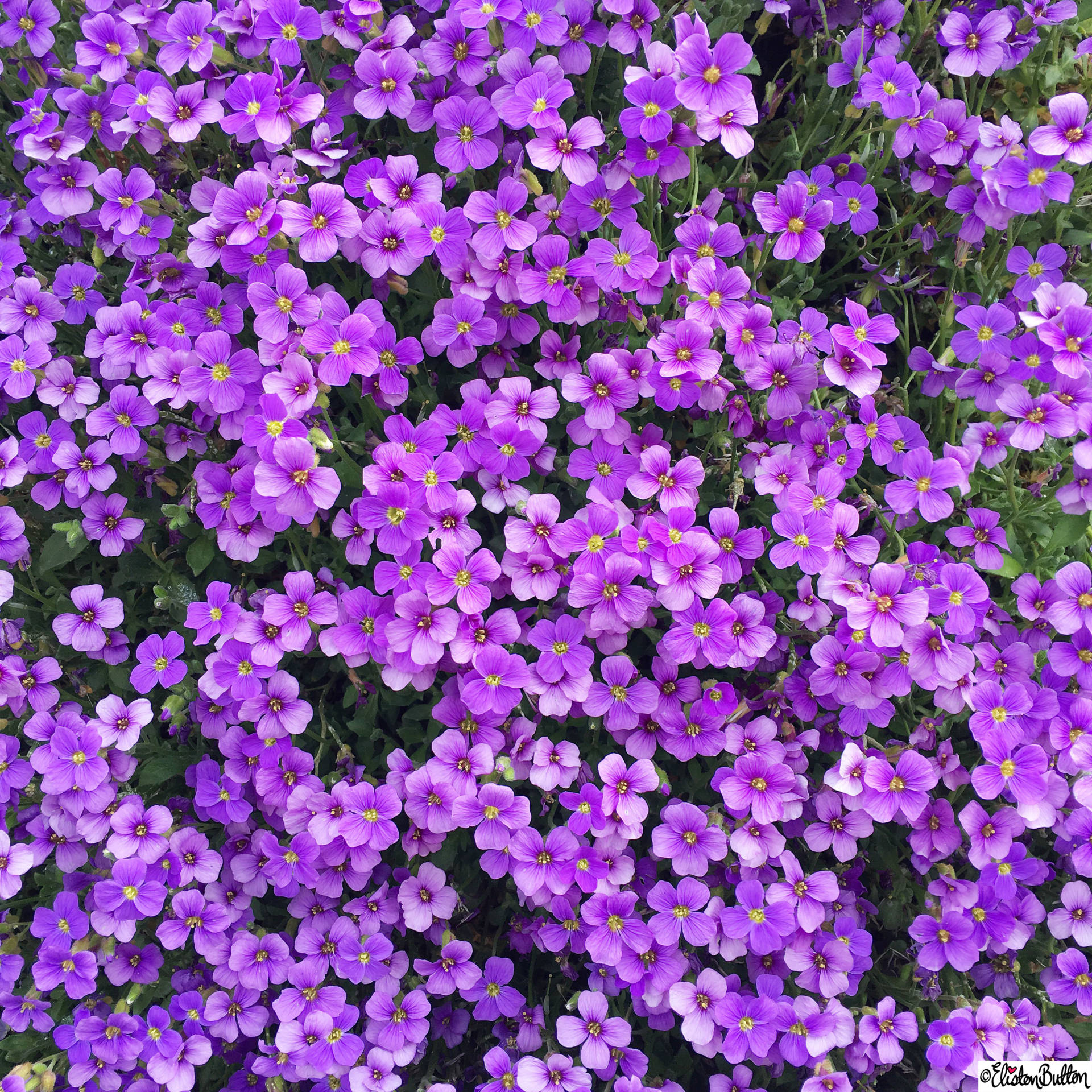 Day 02 - Routine - Purple Aubrieta - Photo-a-Day – May 2016 at www.elistonbutton.com - Eliston Button - That Crafty Kid – Art, Design, Craft & Adventure.