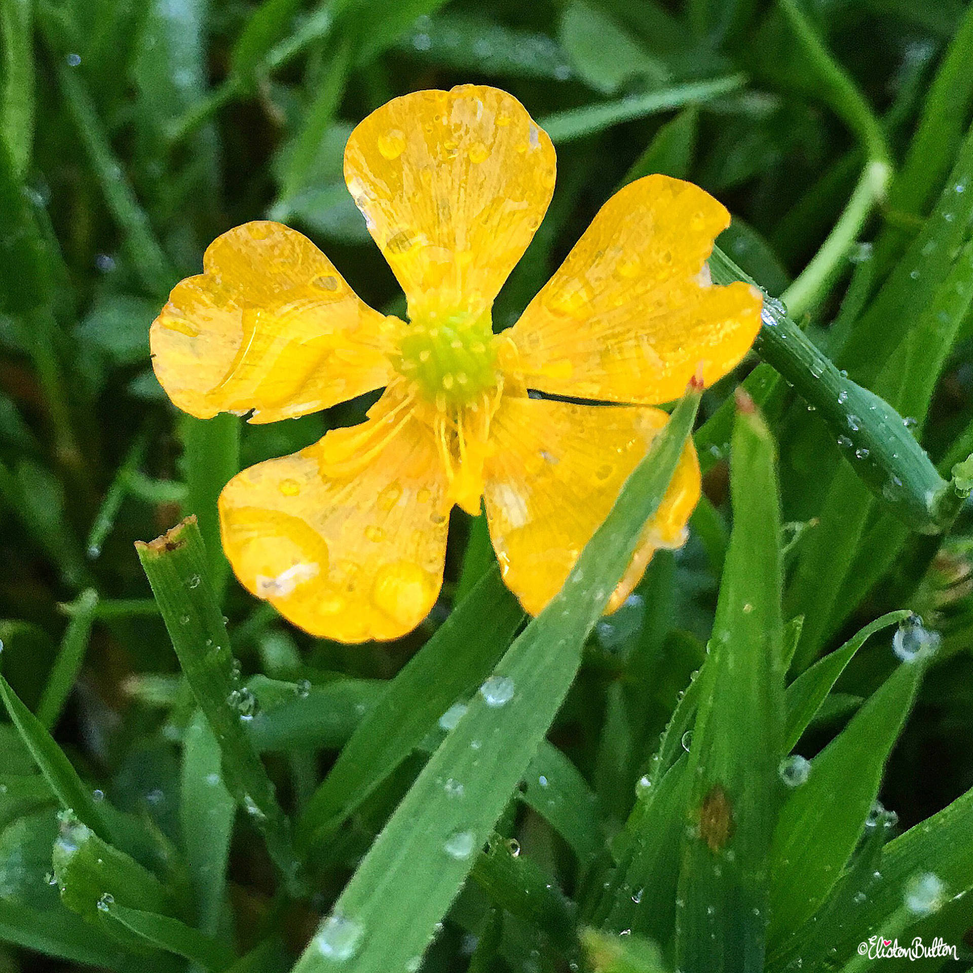 Day 20 - Water - Wter Drops on a Buttercup - Photo-a-Day – June 2016 at www.elistonbutton.com - Eliston Button - That Crafty Kid – Art, Design, Craft & Adventure.