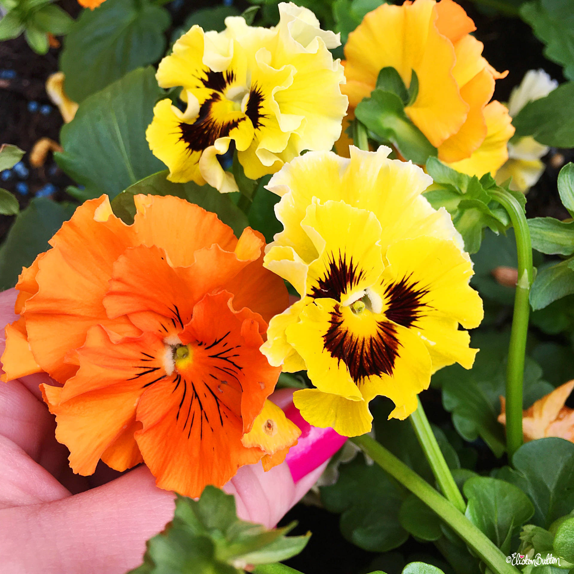 Orange and Yellow Frilly Pansies - Around Here…September 2016 at www.elistonbutton.com - Eliston Button - That Crafty Kid – Art, Design, Craft & Adventure.