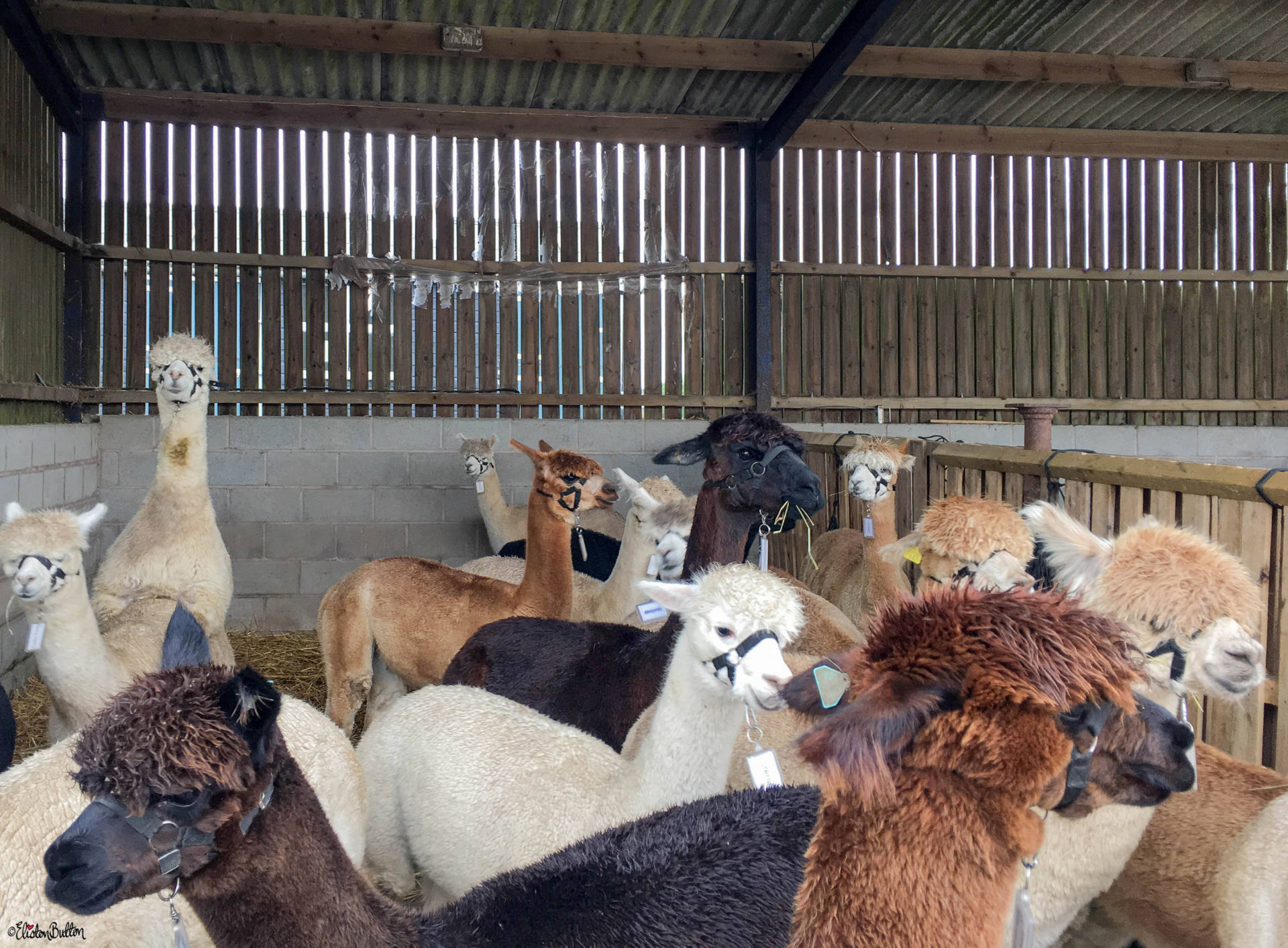 Alpaca Party at Charnwood Forest Alpaca Farm, Leicestershire - An Alpaca Adventure! at www.elistonbutton.com - Eliston Button - That Crafty Kid – Art, Design, Craft & Adventure.