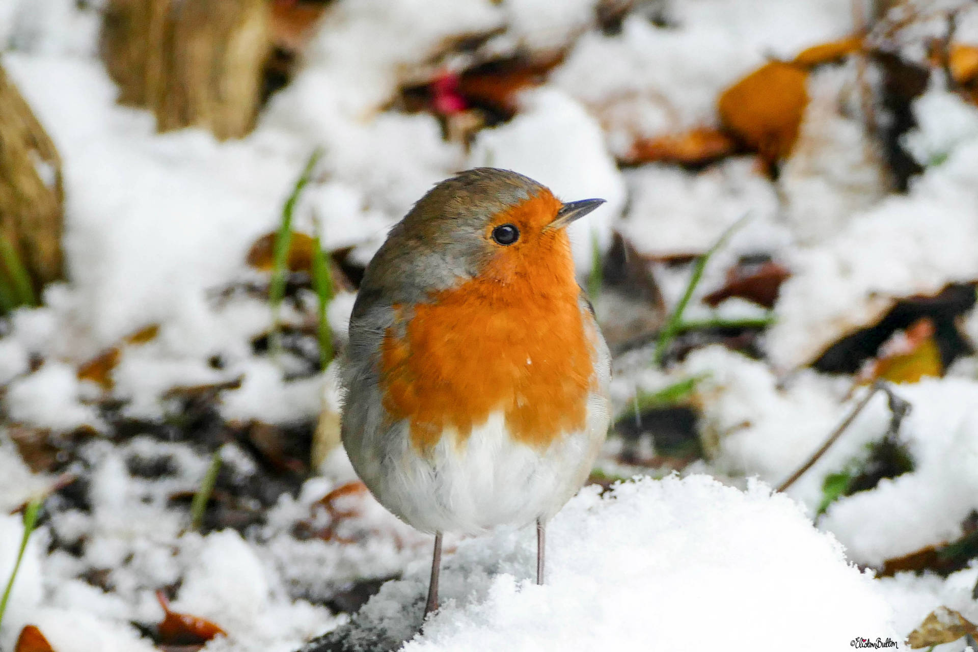 Robin Bird in the Snow by Eliston Button - For the Love of…Christmas at www.elistonbutton.com - Eliston Button - That Crafty Kid – Art, Design, Craft & Adventure.