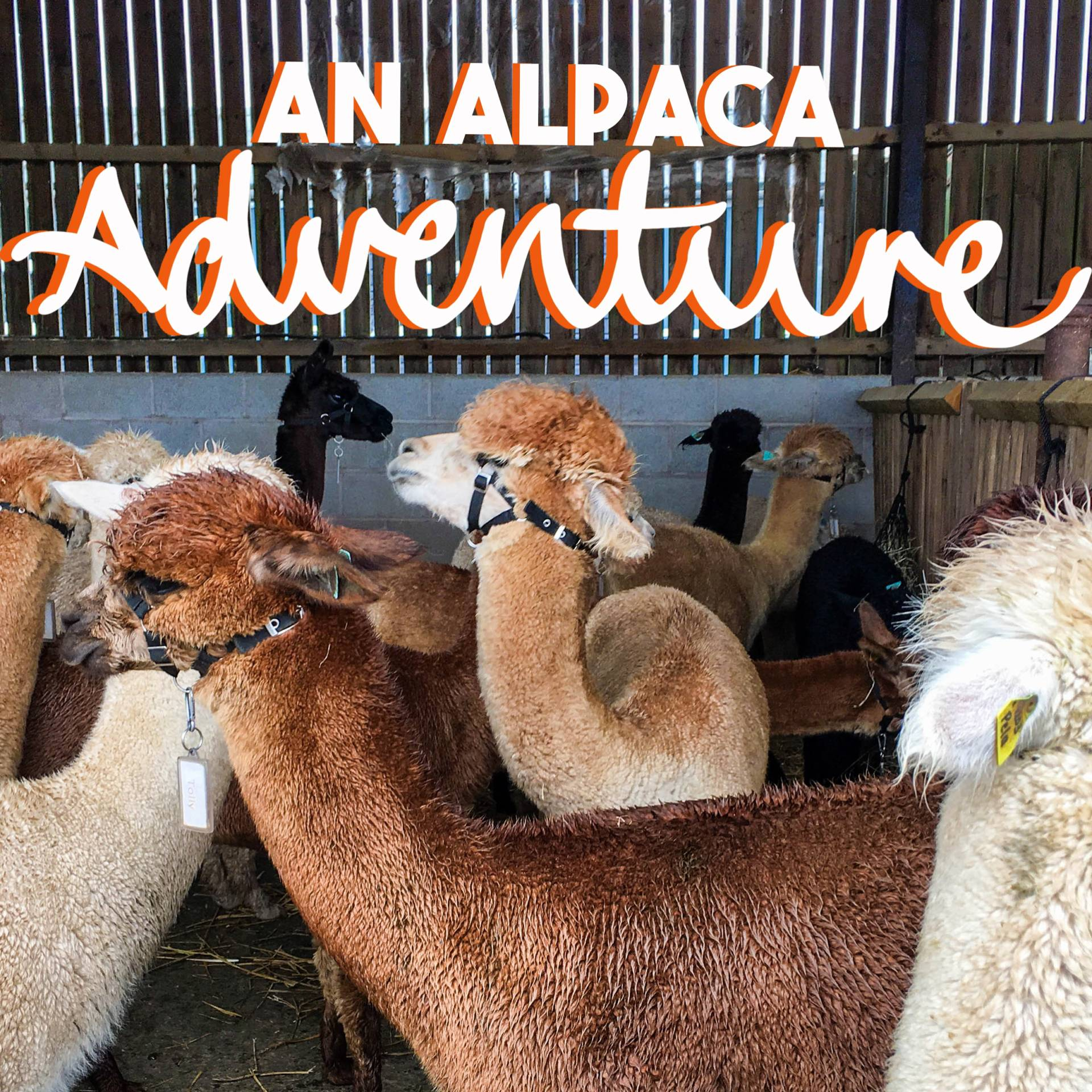 An Alpaca Adventure! at www.elistonbutton.com - Eliston Button - That Crafty Kid – Art, Design, Craft & Adventure.